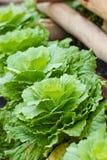 Longlived cabbag. Longlived cabbag close up shot Stock Photo