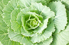Longlived Cabbage. Stock Image