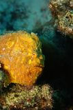 Longlure Frogfish (Antennarius multiocellatus) Stock Images