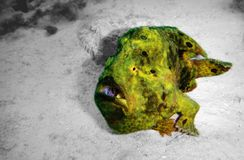 Longlure frogfish. A longlure frogfish on black and white background royalty free stock photography