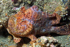 Longlure Frogfish Royalty Free Stock Images
