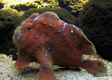 Longlure frogfish Royalty Free Stock Photos