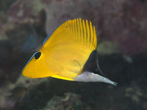 Longnose butterfly fish Stock Image