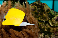 Longnose Butterflyfish Stock Images