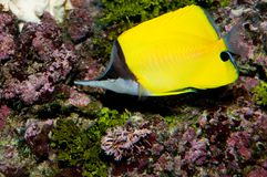 Longnose Butterflyfish Royalty Free Stock Photos