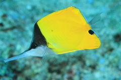 Longnose butterflyfish Stock Photo
