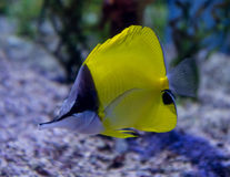 Longnose Butterflyfish Stock Image