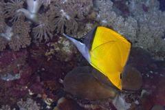 Longnose butterflyfish. Royalty Free Stock Images