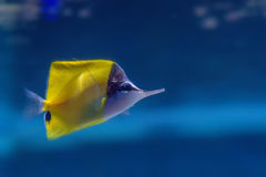Longnose butterflyfish or Forcipiger longirostris Royalty Free Stock Photo