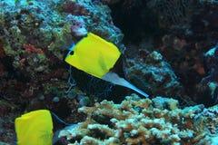 Longnose butterflyfish Stock Photos