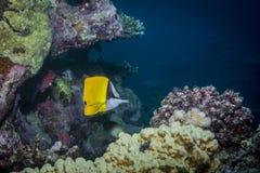 Longnose Butterflyfish Royalty Free Stock Photography