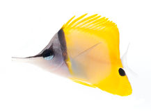 Longnose Butterflyfish Isolated On White Ba Stock Photo