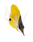 Longnose butterflyfish isolated on white ba Royalty Free Stock Photography