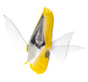 Longnose butterflyfish isolated on white ba Stock Image