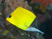 Longnose butterflyfish Royalty-vrije Stock Fotografie