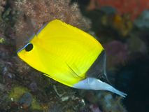 Longnose butterflyfish Royalty Free Stock Photography