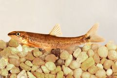 Longnose dace (Rhinichthys cataractae) Royalty Free Stock Photography