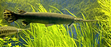 Longnose gar 1 Royalty Free Stock Photos