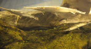 Longnose gar or needlenose gar Lepisosteus osseus. The longnose gar Lepisosteus osseus is a primitive ray-finned fish of the gar family. It is also known as the Stock Photo