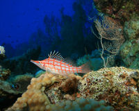 Longnose Hawkfish Stock Photo