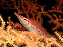 Longnose Hawkfish Stock Photos