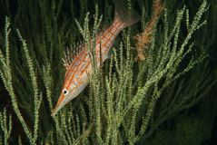 Longnose hawkfish Royalty Free Stock Image