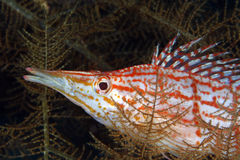 longnose hawkfish Royaltyfri Fotografi