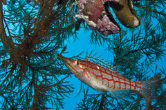 Longnose Hawkfish Stock Photography