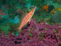 Longnose hawkfish 01 Стоковые Изображения