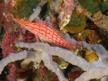 Longnose hawkfish 02 Стоковое Изображение