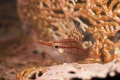 longnose hawkfish Zdjęcia Royalty Free