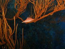 longnose hawkfish Arkivfoto