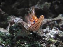 Longnose hawkfish in aquarium Royalty Free Stock Image