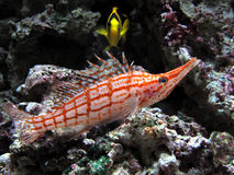 Longnose hawkfish in aquarium Stock Image
