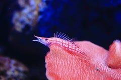 Longnose Hawkfish Stock Images