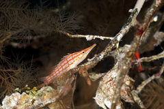 Longnose hawkfish in black coral Royalty Free Stock Photos