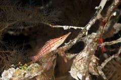 Longnose hawkfish in black coral Royalty Free Stock Photos