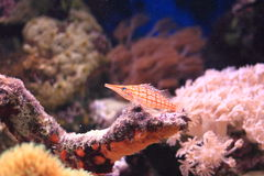 Longnose hawkfish Royalty Free Stock Photos