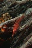Longnose hawkfish för Mocambique Indiska oceanen (den Oxycirrhites typusen) på svart närbild för korall (cirrhipathessp.) Royaltyfri Fotografi