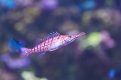 A longnose hawkfish. The fish is red and blue, with a coloful blurred bokeh background. Selective focus, copy space stock photography