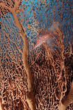 Longnose hawkfish (oxycirrhites typus) Stock Photo