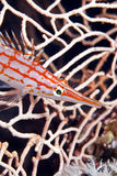 Longnose hawkfish (oxycirrhites typus) . Longnose hawkfish in de Red Sea Royalty Free Stock Image