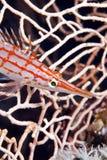 Longnose hawkfish (oxycirrhites typus). Stock Photo