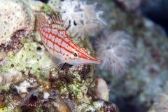 Longnose hawkfish (oxycirrhites typus). Stock Photography