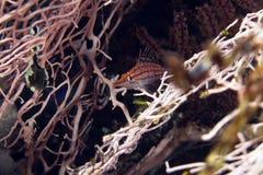 Longnose hawkfish (oxycirrhites typus). Royalty Free Stock Photo
