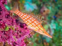 Longnose hawkfish, Oxycirrhites typus AKWALUNG, Bali obraz royalty free