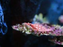 Longnose hawkfish Oxycirrhites typus in aquarium stock photo