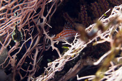 Longnose hawkfish (oxycirrhites typus) in de Red Sea. Royalty Free Stock Images
