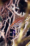 Longnose hawkfish (oxycirrhites typus) in de Red Sea. Royalty Free Stock Image