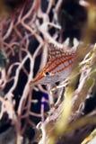 Longnose hawkfish (oxycirrhites typus) in de Red Sea. Royalty Free Stock Image
